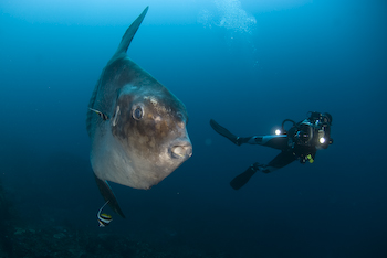 Scubazoo Photo of Simon Enderby with Sunfish - Photo by Roger Munns